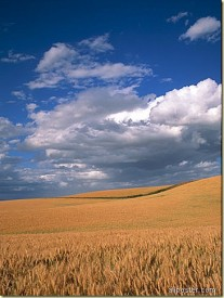 amber-waves-of-grain