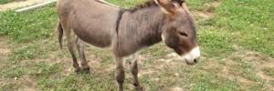minature_donkey