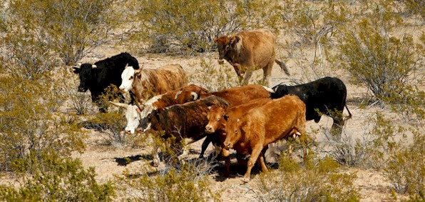 bundy_cattle