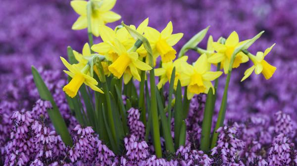 Daffodil meaning homosexual discrimination