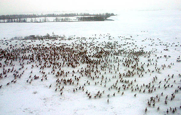 Reindeer run free on Russia's Yamal Peninsula in Siberia.