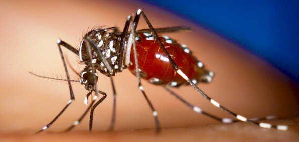Failed GM mosquito control experiment may have strengthened wild bugs