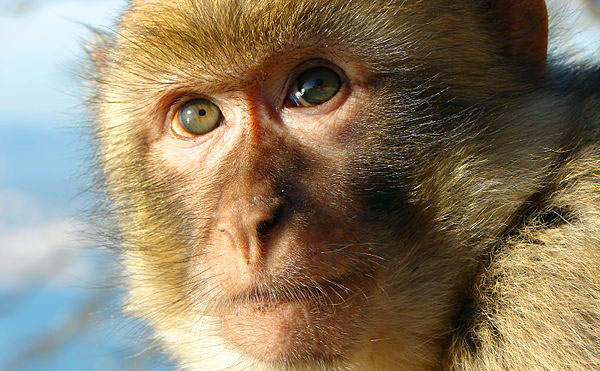 Barbary-Macaque-monkey-600