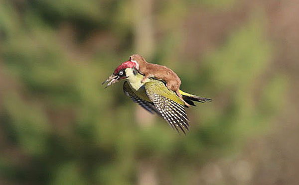 A weasel rides on a woodpecker's back in London, England, March 2, 2015. Photo by Martin Le-May