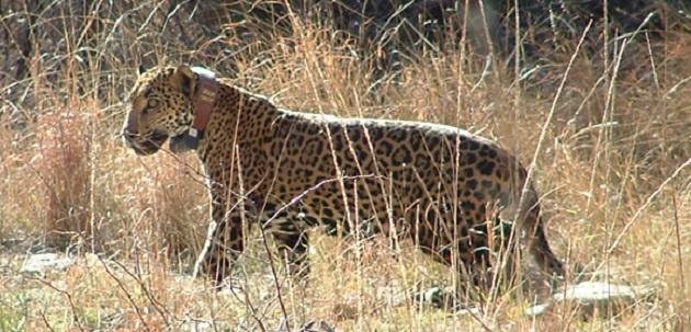 Jaguar32