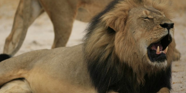 A safari guide was mauled to death by a lion.