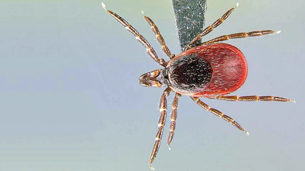 ticks-lyme-disease-harvard-600