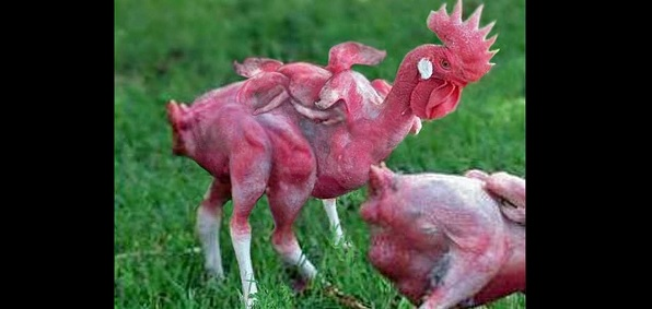 kfc featherless chicken kfc featherless - 26.7KB