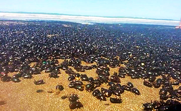 A giant mass of beetles have arrived on Argentinian shores near Buenos Aires