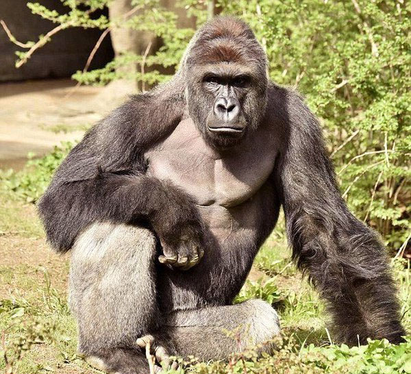 A 450-pound gorilla named Harambe was killed after a 4-year-old child fell into the enclosure at the Cincinnati Zoo on may 28 (Photo: Twitter)