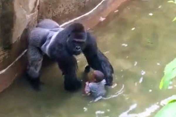 A 450-pound gorilla named Harambe was killed after a 3-year-old child fell into the enclosure at the Cincinnati Zoo on May 28
