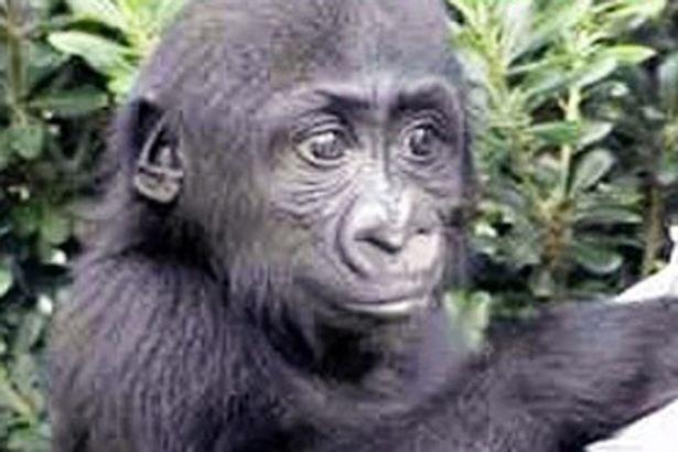 Man Who Raised Gorilla Harambe Heartbroken Wnd
