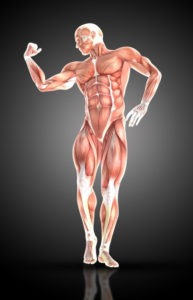 A male athlete's muscular structure. Medical image created by Kjpargeter - Freepik.com