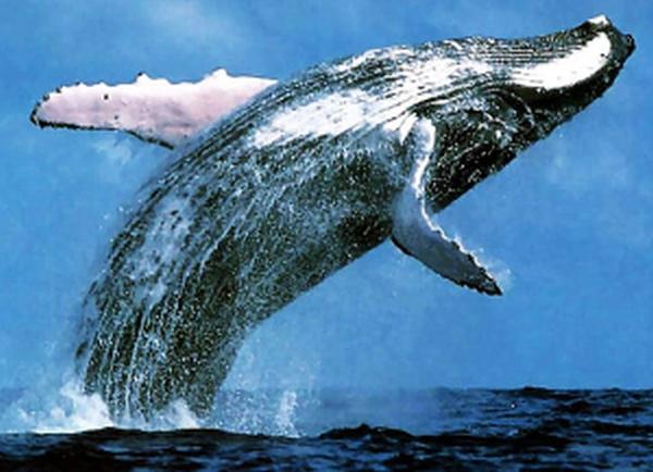 Whale breaching-2