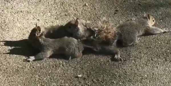 Baby squirrels with tails tangled up