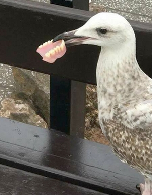 Seagull and dentures