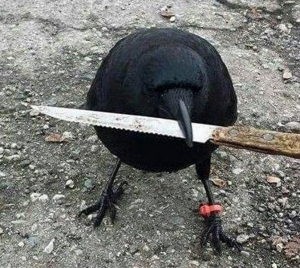 Canuck the crow tampering with evidence