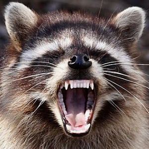 Surge Of Vicious Raccoon Attacks On People Wnd