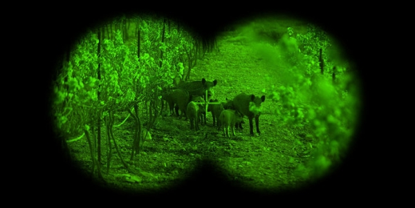 Feral hogs seen through night-vision goggles