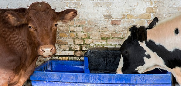 cows_trough