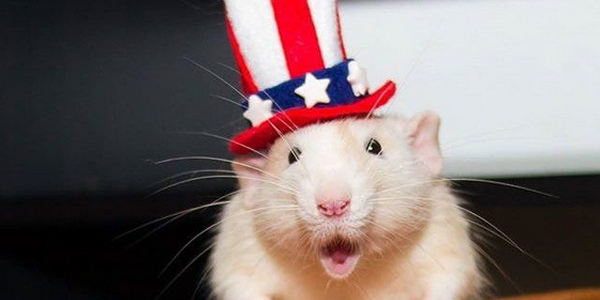 Rat with Uncle Sam hat