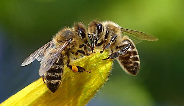 bees-honey-bee-apis-insect-144252-pexels