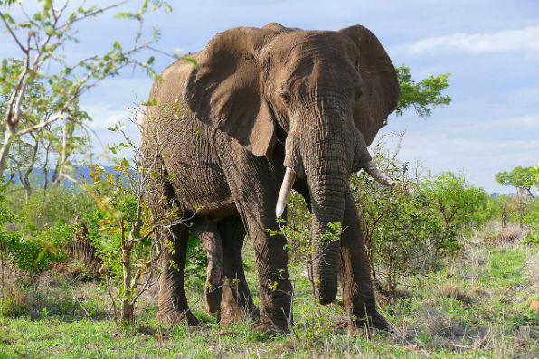 African elephant (Wikipedia)