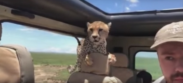 Cheetah in jeep