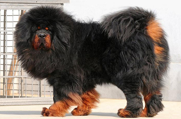 Woman Discovers That Her Pet Tibetan Mastiff Was Actually A Black Bear