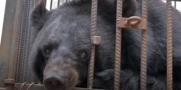 A Chinese family mistakenly believed they had adopted a puppy, but the animal turned out to be an Asiatic black bear (Photo: Screenshot)