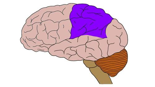 Parietal lobe of the brain