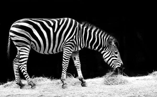 Zoo Accused Of Painting Donkeys To Look Like Zebras Wnd