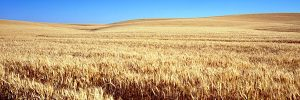 kansas-cornfield-wheat-grain-cereal-fruited-plain-pixabay-600