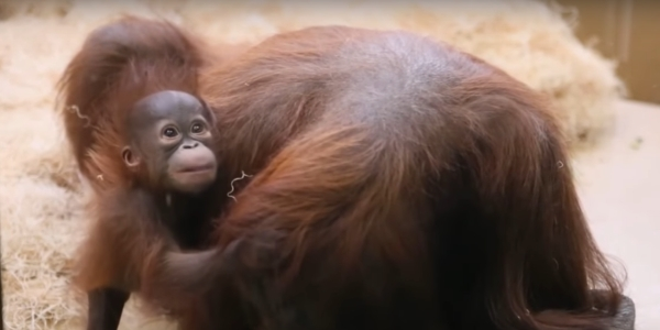 Orangutan (YouTube screenshot)