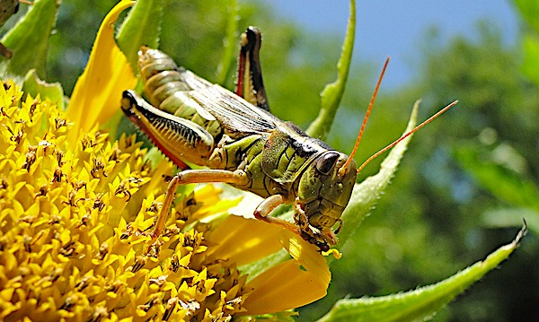[grasshoppers-locusts-eating-insects-pixabay]