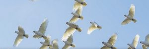 long-billed_corella