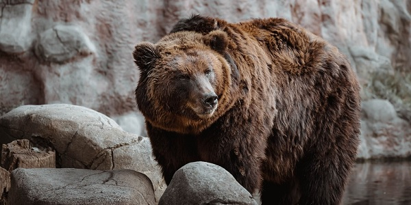 2 bears found near woman's body had human remains in stomachs