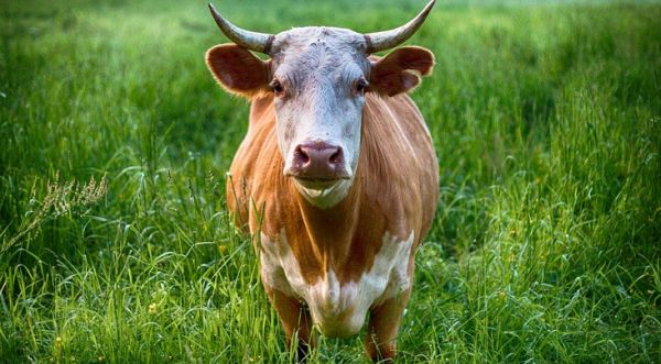 Escaped bull captured after 2 months on the loose in Long Island